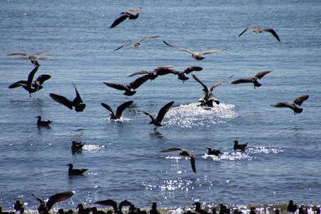 columbia: Seagulls  taking flight on the Columbia River , Washington