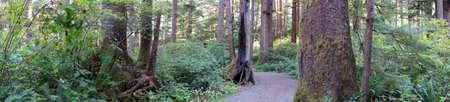 oswald: Panorama of conifers along a forest trail, Oswald West State Park, Oregon Stock Photo