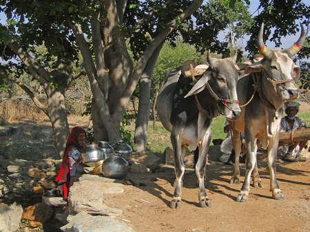 RAJASTHAN,  INDIA - DEC 2, 2009 -Bullocks walk to turn a water wheel  near  Udaipur, India