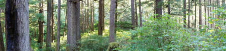 Panorama of conifers along a forest trail, Oswald West State Park, Oregon Stock Photo