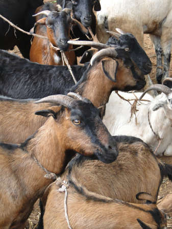 weekly market: Goats at the weekly market in Kunduli, Orissa in India Stock Photo
