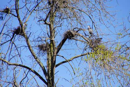 herons: Great Blue herons   (Ardea herodias)   flying in Seattle