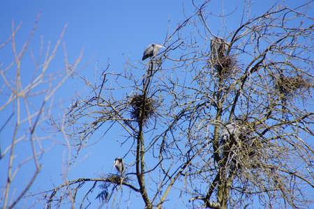 herodias: Great Blue herons   (Ardea herodias)   flying in Seattle