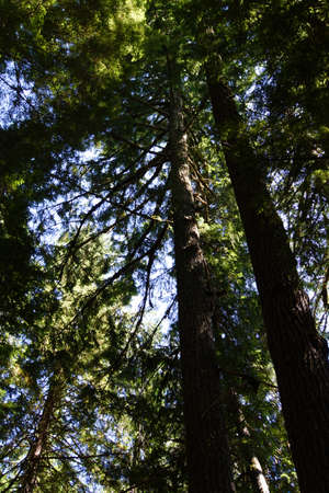 conifers: Tall conifers  in the Grove of the Patriarchs, Mount Rainier National Park Stock Photo
