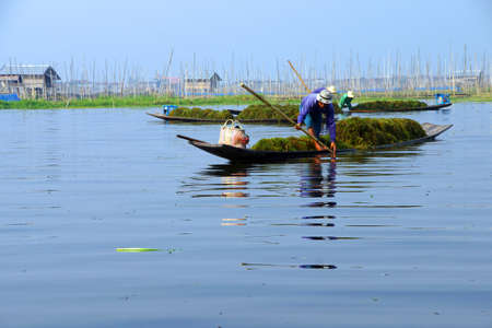 fertilize: farmer collects lake grass seaweed to fertilize his floating garden on  Inle Lake,  Myanmar (Burma) Stock Photo