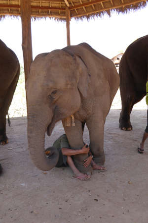 five year old: Five year old baby male elephant ,  Elephant conservation camp near Kalaw Myanmar (Burma)