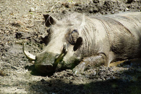 Wart hog napping in mud, , Seattle 版權商用圖片 - 57498497