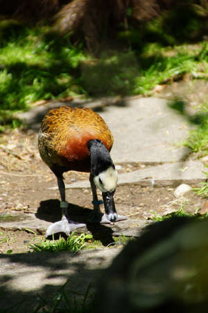 whistling: White faced Whistling duck  ( Dendrocygna viduata ), Seattle