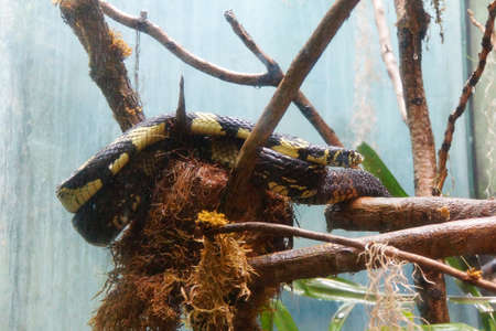 coiled: Tiger Rat snake ( Spilotes pullatus ) coiled on a tree branch, Seattle Stock Photo