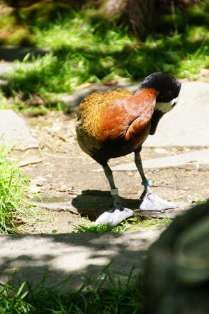 faced: White faced Whistling duck  ( Dendrocygna viduata ), Seattle
