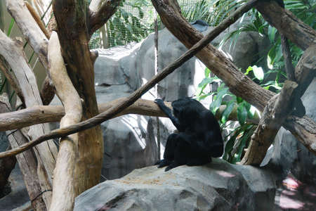 siamang: es syndactylus ) is an arboreal black-furred gibbon