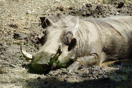 hog: Wart hog napping in mud, , Seattle
