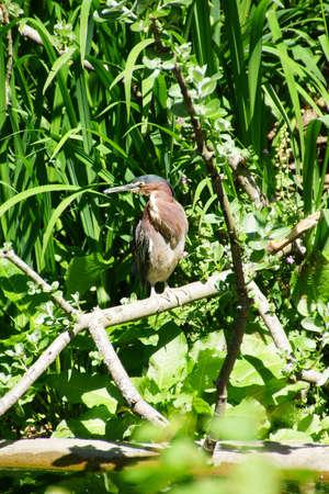 freshwater: Green Heron ( Butorides virescens ) a freshwater bird, Seattle
