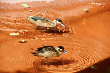 anas: Hottentot Teal (Anas punctata)  one of the smaller ducks, Stock Photo