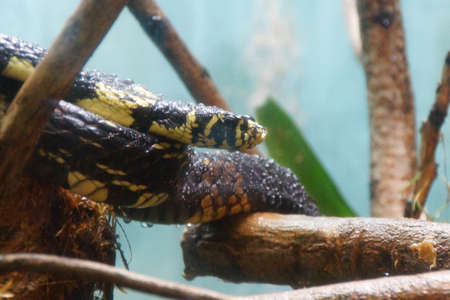 coiled snake: Tiger Rat snake ( Spilotes pullatus ) coiled on a tree branch, Seattle Stock Photo