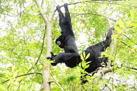 inflate: Siamang ( Hylobates syndactylus ) inflate neck pouch to emit hooting songs for pair bonding;  arboreal black-furred gibbon native to the forests of Southeast Asia, Seattle Stock Photo