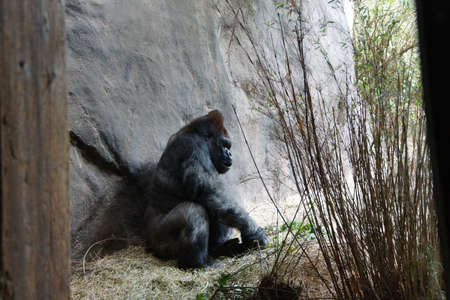 silverback: silverback gorilla having lunch Stock Photo