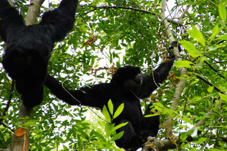 emit: Siamang ( Hylobates syndactylus ) inflate neck pouch to emit hooting songs for pair bonding;  arboreal black-furred gibbon native to the forests of Southeast Asia, Seattle Stock Photo