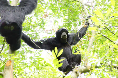 siamang: Siamang ( Hylobates syndactylus ) inflate neck pouch to emit hooting songs for pair bonding;  arboreal black-furred gibbon native to the forests of Southeast Asia, Seattle Stock Photo