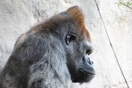 having lunch: Headshot of silverback gorilla having lunch