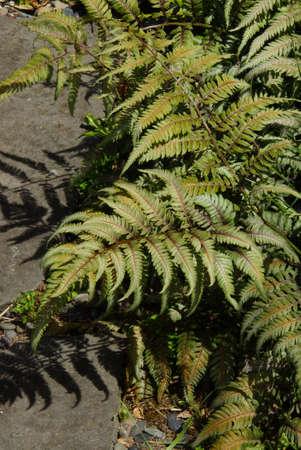 variegated: Variegated fern in Seattle garden