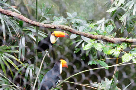 billed: Yellow billed toucans in rainforest setting
