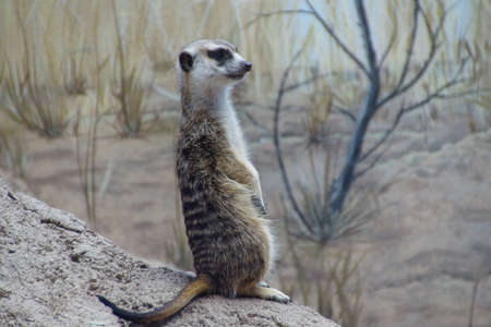 meer: Meercat standing sentinel for his group Stock Photo