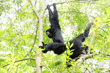 arboreal: Siamang ( Hylobates syndactylus ) inflate neck pouch to emit hooting songs for pair bonding;  arboreal black-furred gibbon native to the forests of Southeast Asia, Seattle Stock Photo