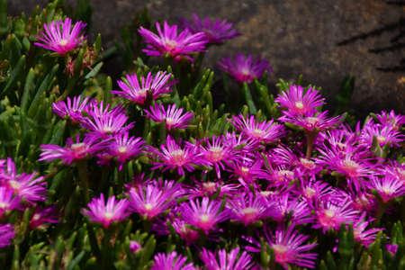 ice plant: Purple ice plant in Seattle garden