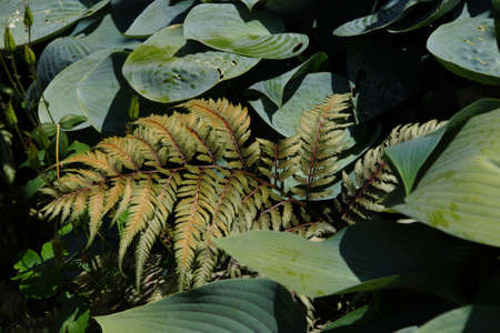Hostas and variegated fern in Seattle garden Stock Photo
