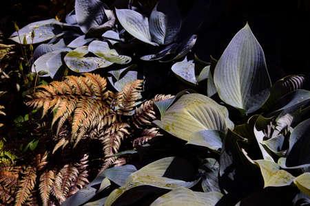 hostas: Hostas and variegated fern in Seattle garden Stock Photo
