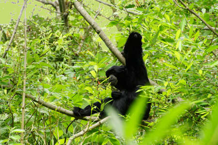 siamang: Siamang ( Hylobates syndactylus )   arboreal black-furred gibbon native to the forests of Southeast Asia