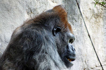 silverback: Headshot of silverback gorilla having lunch