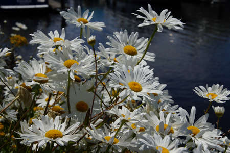 White daisies on the waterfront of  Lake Union, Seattle Imagens