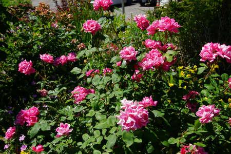 breeze: Pink Floribunda roses sway in a gentle breeze, Seattle