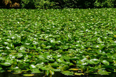 foster: Water lilies in a marsh near Foster Island on Lake Washington,