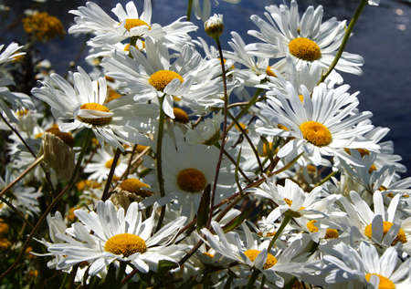 sway: White daisies on the waterfront of  Lake Union, Seattle Stock Photo
