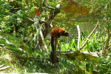 Red ruffed lemur ( Varecia rubra ) perched on tree stump, Seattle Stock Photo