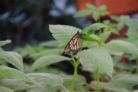 Monarch butterfly resting, Seattle