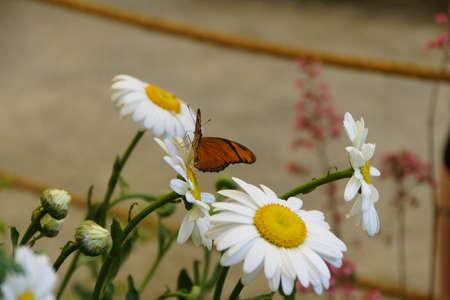 Julia butterfly (Dryas julia ) on a daisy flower, Seattle 版權商用圖片