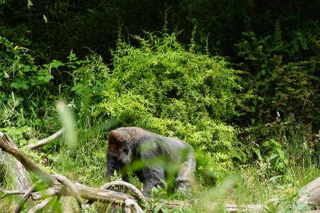 silverback: Silverback gorilla browsing for  lunch
