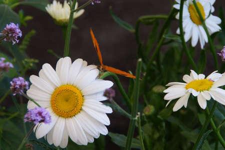 Julia butterfly (Dryas julia ) on a daisy flower, Seattle Фото со стока
