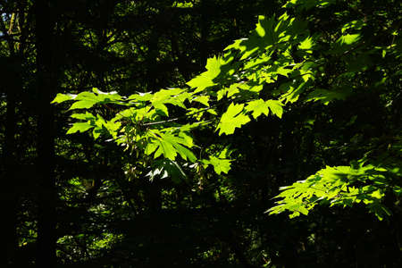 Bright green leaves in deep shadowed forest, Boren Park, Seattle Stock Photo