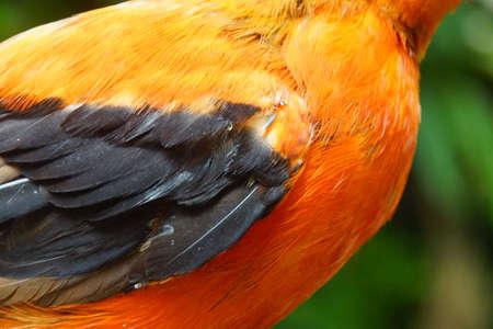 Andean cock of the rock (Rupicolo peruviana) in a rainforest habitat, Seattle