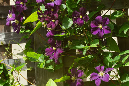 clematis: Purple clematis on a fence  in a Seattle garden Stock Photo