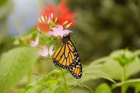 Monarch butterfly (Danaus plexippus) resting on pink flower, Seattle