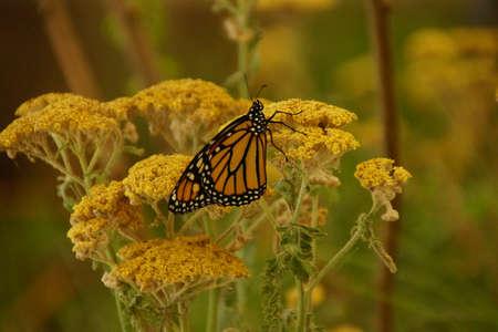 plexippus: Monarch butterfly ( Danaus plexippus ) resting on yellow flower, Seattle