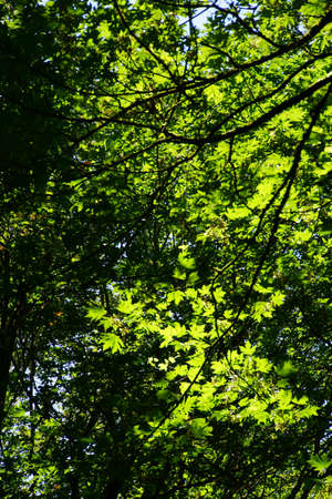shadowed: Bright green leaves in deep shadowed forest, Boren Park, Seattle Stock Photo