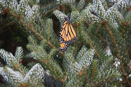 plexippus: Monarch butterfly ( Danaus plexippus ) resting on spruce bud, Seattle