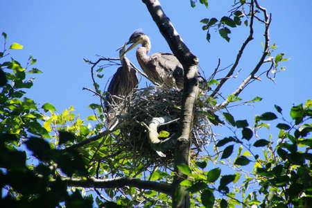 ardea: Young fledgling Great Blue Herons ( Ardea herodias )preen and flap their wings in waterside park in Seattle
